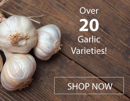 Urban Farmer has a wide variety of garlic seeds.