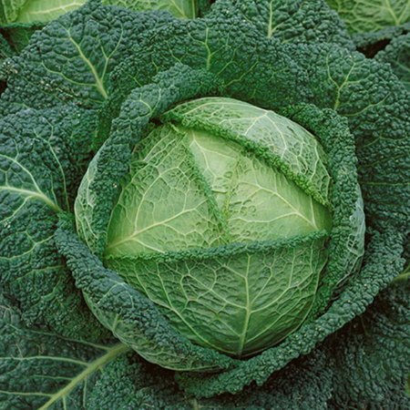 Savoy Perfection, Cabbage Seeds - Packet image number null