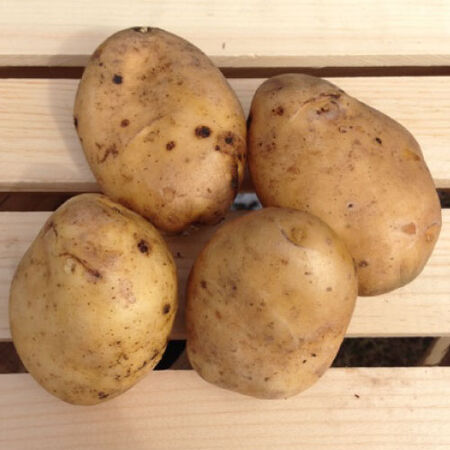 Kennebec, Seed Potatoes image number null