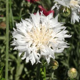 Tall White, Cornflower Seeds