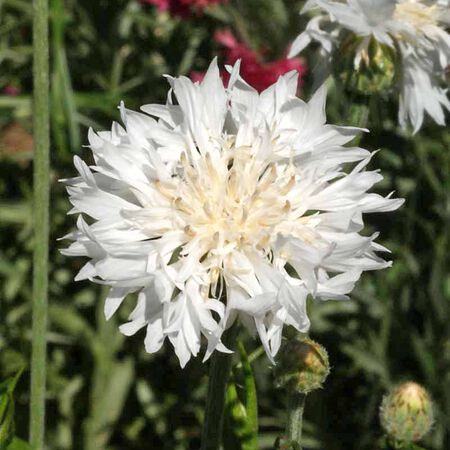 Tall White, Cornflower Seeds - Packet image number null