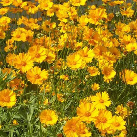 Lance Leaved, Coreopsis Seeds - Packet image number null