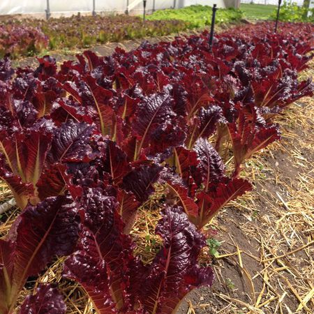 Midnight Ruffles, Lettuce Seeds image number null
