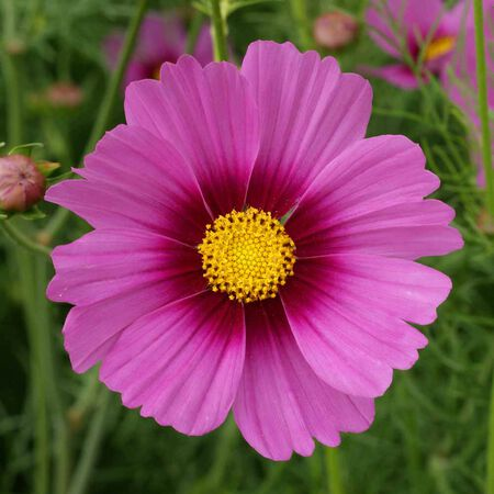 Radiance, Cosmo Seeds image number null