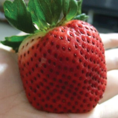 Giant, Strawberry Seeds - Packet image number null