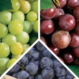 Collection Mix, Grape Plants