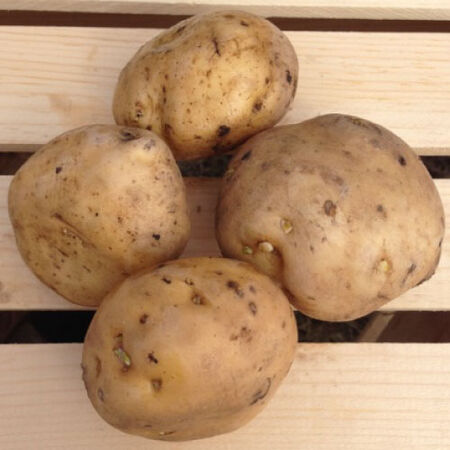 Irish Cobbler, Seed Potatoes - 2 Pounds image number null
