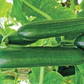 Amiga Beit Alpha, (F1) Cucumber Seeds
