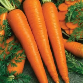 Imperator 58, Carrot Seeds