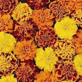 Petite Mix, Marigold Seeds