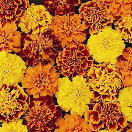 Petite Mix, Marigold Seeds - Packet image number null