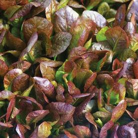 Cimarron, Lettuce Seeds