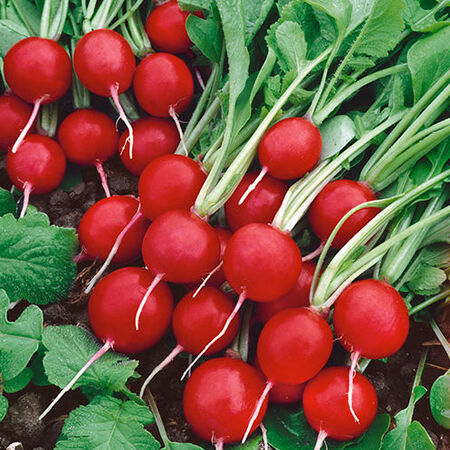 Rudolph, Radish Seeds - Packet image number null