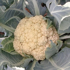 Snow Crown, Organic (F1) Cauliflower Seeds