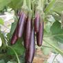Little Finger, Eggplant Seeds - Packet thumbnail number null