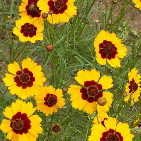 Plains, Coreopsis Seeds - Packet image number null