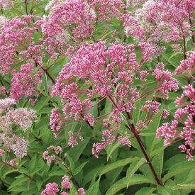 Sweet Joe Pye Weed, Eutrochium Seeds
