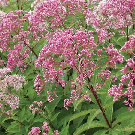 Sweet Joe Pye Weed, Eutrochium Seeds - Packet image number null