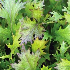 Mizuna Purple Mustard Seed, Greens