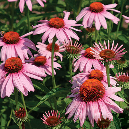 Purple, Echinacea Seeds - Packet image number null