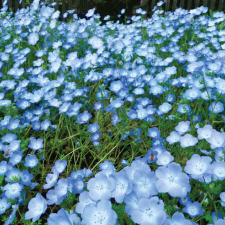 Baby Blue Eyes, Nemophila Seeds - Packet image number null