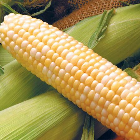 Providence, Corn Seeds - Packet (50 Seeds) image number null