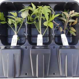 San Marzano, Tomato Plants
