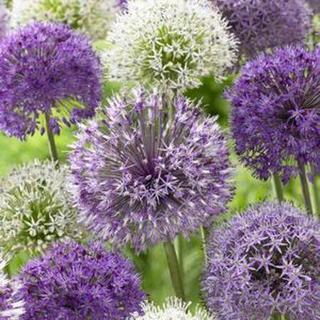 Giant Mix, Allium image number null