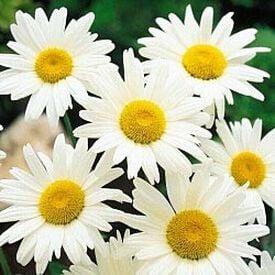 Shasta, Daisy Seeds