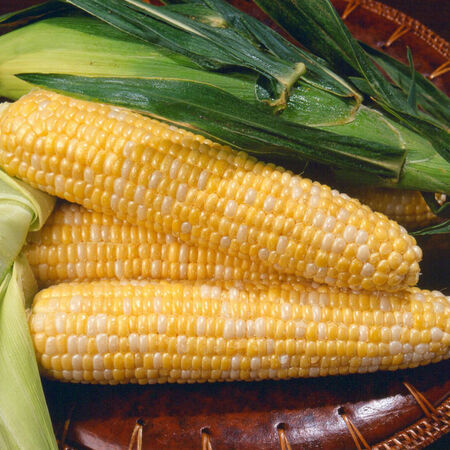 Kristine, (F1) Corn Seed - 1 Ounce image number null