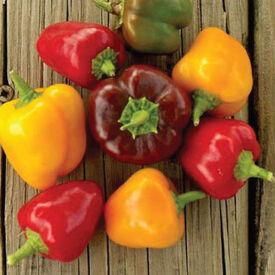 Petite Mix Bell, (F1) Pepper Seeds