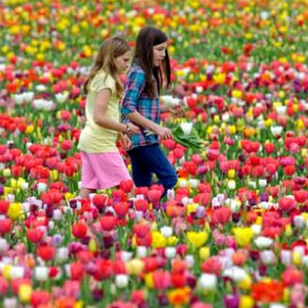 Long Lasting 'All Season', Tulip Bulbs image number null