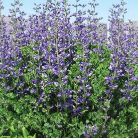 Blue Indigo, Baptisia Seeds