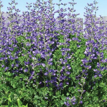 Blue Indigo, Baptisia Seeds - Packet image number null