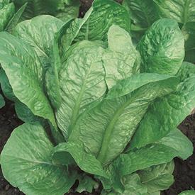 Vivian, Lettuce Seeds