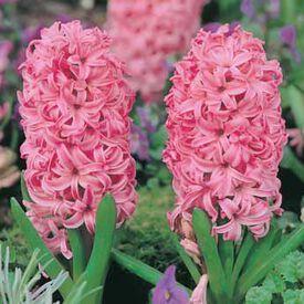 Pink Surprise, Cut Flowers