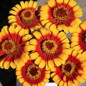 Sombrero, Zinnia Seeds