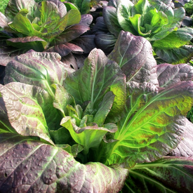 Ip Ssam Hong, (F1) Cabbage Seeds