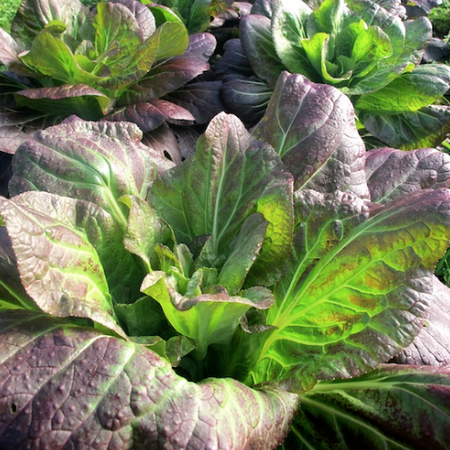 Ip Ssam Hong, (F1) Cabbage Seeds image number null