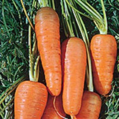 Chantenay Red Core, Carrot Seeds - Packet image number null
