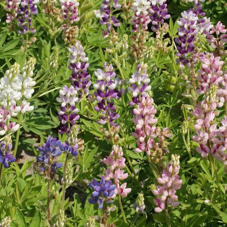 Pixie Delight, Lupine Seeds - Packet image number null