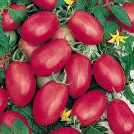 Porter, Tomato Seeds