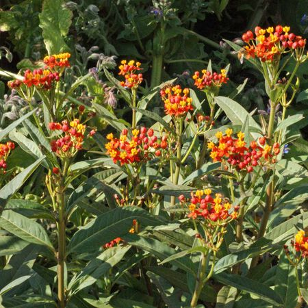 Bloodflower, Asclepias (Butterfly Weed) - Packet image number null