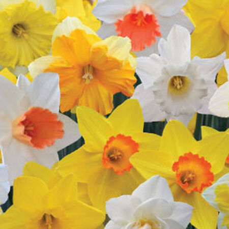 Long Lasting, Daffodil Bulbs image number null