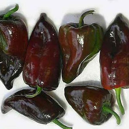 Mulato Isleno, Pepper Seeds - Packet image number null