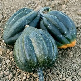 Table King Bush, Organic Squash Seeds
