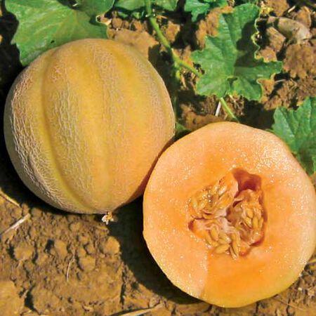 Minnesota Midget, Melon Seeds - Packet image number null