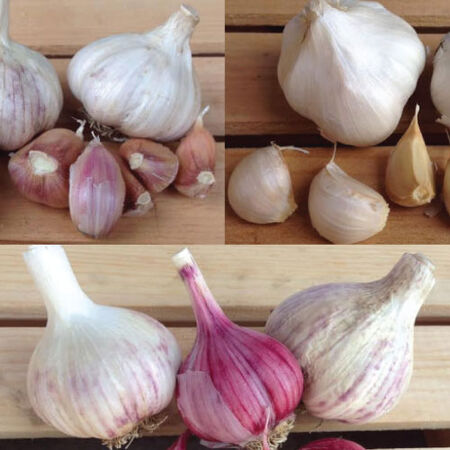 Collection Mix, Garlic Bulbs - 3/4 Pound Mix image number null