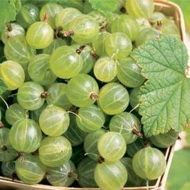 Pixwell, Gooseberry Plant