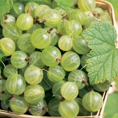 Pixwell, Gooseberry Plant image number null